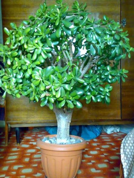 Как вырастить денежное дерево с толстым стволом пошагово в