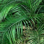 комнатная пальма литокариум